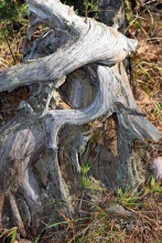 I was fasicnated with this stump, the contrasts between the bleached colors and the gnarled structure of this stump