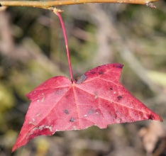 Macro shot, a torn maple leave in brillant red colors shows one of the simple truths about photographing mother nature, the best subjects are often the imperfect ones.
