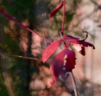 Macro shot, the bright red colors and the way the leaves were shaped caught my eye. Cedar Falls Overlook, Petit Jean State Park